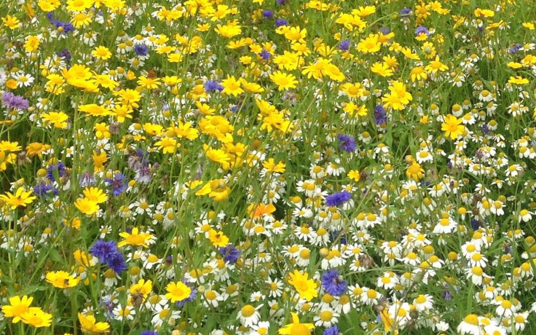 How to lay and maintain Wildflower Turf