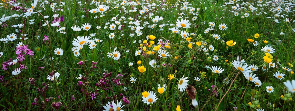 Wildflower Seeded Meadow Sowing & Maintenance Guide
